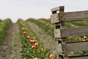 [Tulip Festival]